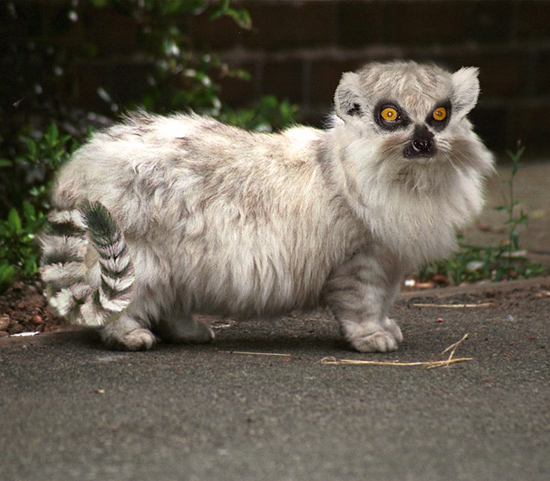 Lemur-cat