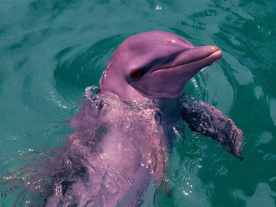 Rare Pink Dolphin