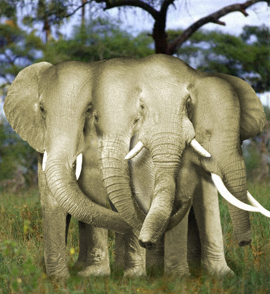 Four Headed Elephant