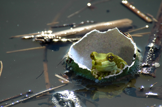 Frog in a Tennisball