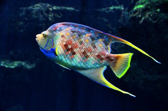 Exotic Tile Fish