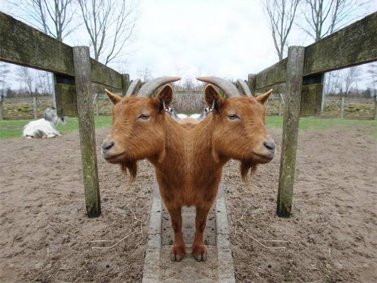 Real cloned animals gone wrong