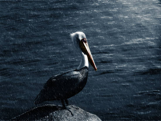 Lonely Pelican