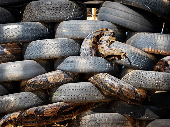 Snake in the Tires