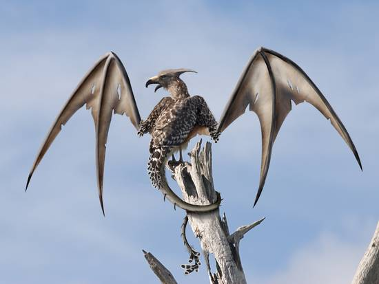 dragon-eagle?