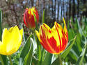 Tulips, 3 entries