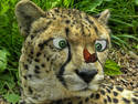 Curious Cheetah